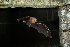 Greater Horseshoe Bat (Rhinolophus ferrumequinum) in flight into building, mouth open to emit echolocating calls. France, Europe, September. - Eric Medard