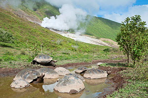 Volcan Alcedo giant tortoises (Chelonoidis nigra vandenburghi) group wallowing in a muddy pool,  possibly for thermoregulation or to deter parasites, with sulphur fumaroles from Alcedo Volcano, Isabel...  -  Tui De Roy