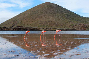 American flamingo (Phoenicopterus ruber) feeding in water with hill in background. Floreana Island, Galapagos, Ecuador, June.  -  Tui De Roy