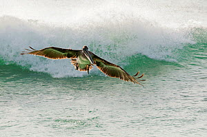 Brown pelican (Pelecanus occidentalis) in flight above wave. San Cristobal Island, Galapagos, Ecuador, June.  -  Tui De Roy