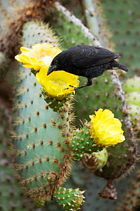 Cactus finch (Geospiza scandens) feeding on cactus flower nectar and pollen. Espanola, Galapagos Islands, November. - Tui De Roy