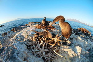 Flightless Cormorant (Nannopterum / Phalacrocorax harrisi) with chick at nest, made from dead starfish. Banks Bay, Isabela Island, Galapagos Islands, Ecuador, December.  -  Tui De Roy