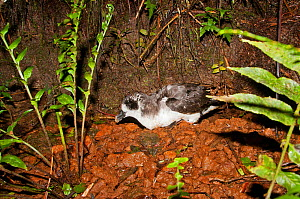 Galapagos Petrel (Pterodroma phaeopygia) on debris from nesting hole. Critically endangered. Santa Cruz Highlands, Galapagos Islands, Ecuador, June.  -  Tui De Roy