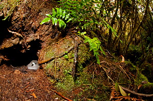 Galapagos Petrel (Pterodroma phaeopygia) chick in nesting hole. Critically endangered. Santa Cruz Highlands, Galapagos Islands, Ecuador, June.  -  Tui De Roy