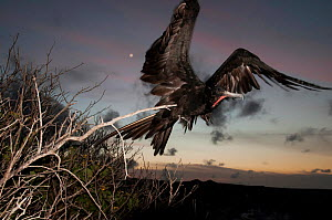 Great frigatebird (Fregata minor) male taking flight at dusk. Espanola Island, Galapagos, Ecuador, May.  -  Tui De Roy
