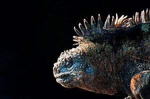Marine iguana (Amblyrhynchus cristatus) in profile against dark background. Galapagos Islands, Ecuador, December.  -  Tui De Roy