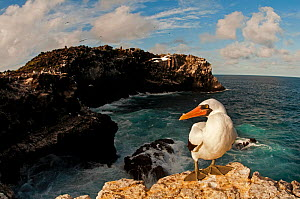 Nazca booby (Sula granti) at colony on coastal cliffs. Espanola Island, Galapagos, Ecuador, May.  -  Tui De Roy