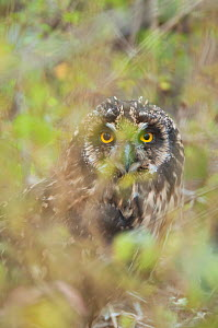 Short-eared owl (Asio flameus galapagoensis) looking between branches, portrait, Galapagos islands  -  Tui De Roy