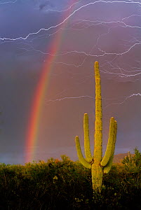 Saguaro Cactus (Carnegiea gigantea) against summer monsoon sky with rainbow and streaks of lightning. Sonoran Desert, near Tucson, Arizona, August 2012. - Jack Dykinga