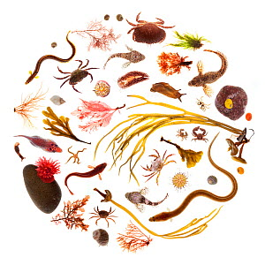 Various rockpool animals and seaweeds, photographed on a white background. Isle of Skye, Inner Hebrides, Scotland, UK, March. Digital composite.  -  Alex Hyde