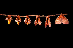 Bullseye Moth (Automeris io) showing wings expanding after emerging from cocoon. Captive, originating from North and Central America. Digital composite sequence - Alex Hyde