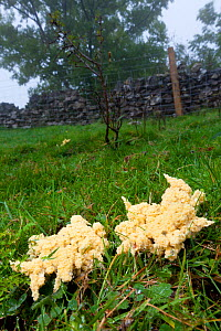Slime Mould (Mucilago crustacea) at the plasmodium stage of its lifecycle, found in the corner of a field on wet grass. Peak District National Park, Derbyshire, UK, September.  -  Alex Hyde