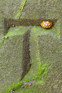 Orange 16-Spot Ladybird (Halyzia 16-guttata / sedecimguttata) overwintering in recess of carved letter on a gravestone. Peak District National Park, Derbyshire, UK, March 2012.  -  Alex Hyde