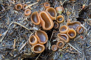 Dung Cup (Peziza vesiculosa) fungal fruiting bodies growing on horse manure. Derbyshire, UK, April. - Alex Hyde