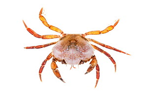 Shore Crab (Carcinus maenas) against white background. From the Isle of Skye, Inner Hebrides, Scotland, UK. - Alex Hyde