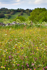 Traditional flower-rich hay meadow including Yellow Rattle (Rhinanthus minor), Buttercup (Ranunculus acris), Red Clover (Trifolium pratense) and host of different grasses. Peak District National Park,... - Alex Hyde