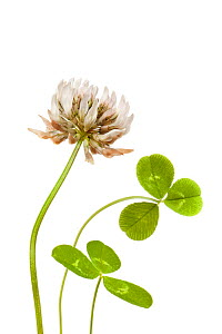 White Clover (Trifolium repens) against a white background. Peak District National Park, UK. September.  -  Alex Hyde