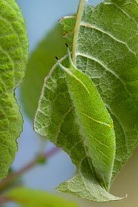 Caterpillar of Purple Emperor Butterfly (Apatura iris) camouflaged, leaf mimicry. Captive, UK.  -  Alex Hyde