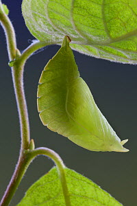 Chrysalis of Purple Emperor Butterfly (Apatura iris), camouflaged using leaf mimicry. Captive, UK.  -  Alex Hyde