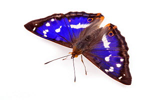 Purple Emperor Butterfly (Apatura iris) male against white background. Captive, UK.  -  Alex Hyde