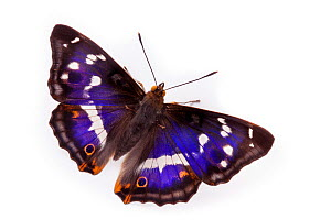 Purple Emperor Butterfly (Apatura iris) male with wings open, against white background. Captive, UK.  -  Alex Hyde