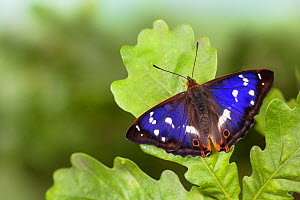 Purple Emperor Butterfly (Apatura iris) male on English Oak (Quercus robur) leaf basking with wings open. Captive, UK  -  Alex Hyde
