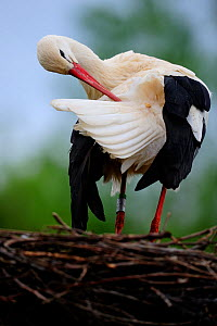White stork (Ciconia ciconia), preening on nest Alsace, France, May  -  Eric Baccega