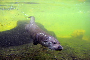 European river otter (Lutra lutra) swimming underwater, captive, Alsace, France - Eric Baccega