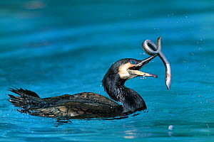 Common cormorant (Phalacrocorax carbo) catching a european eel (Anguilla anguilla), captive, Alsace, France. - Eric Baccega