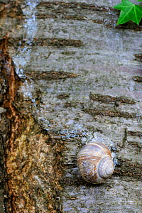 Common snail (Helix aspersa) on a tree trunk with trail, shell sealed to prevent water loss, Alsace, France  -  Eric Baccega