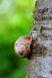 Common snail (Helix aspersa) on a tree trunk with shell sealed to prevent water loss, Alsace, France  -  Eric Baccega