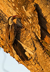 Red-billed hornbill (Tockus erythrorhynchus) feeding its mate who is sealed in its nest in the tree. This nest had a front door and a back door, one door is where the male is feeding the female and an...  -  Charlie Summers