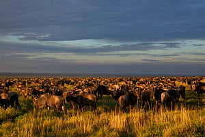 Wildbeest (Connochaetes taurinus) as far as the eye can see from Naabi Hill, gathering and migrating to short grass plains to the south, Serengeti National Park, Tanzania. This year, 2012, there were...  -  Charlie Summers