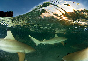 Blacktip reef sharks (Carcharhinus melanopterus) split level view of group hunting at dusk, Aldabra Atoll, Seychelles, Indian Ocean  -  Cheryl-Samantha Owen
