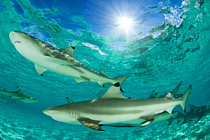 Blacktip reef sharks (Carcharhinus melanopterus) group swimming in shallow turquoise sea, Aldabra Atoll, Seychelles, Indian Ocean  -  Cheryl-Samantha Owen
