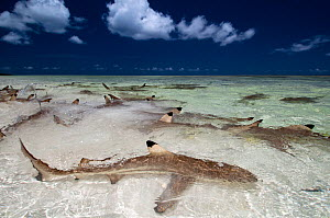 Blacktip reef sharks (Carcharhinus melanopterus) in shallow water gathering very close to shore, Aldabra Atoll, Seychelles, Indian Ocean - Cheryl-Samantha Owen