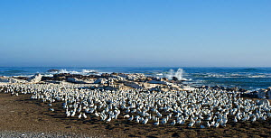 Cape gannets (Morus capensis) large colony on Bird Island, Lambert's Bay, South Africa. Yves Chesselet (Cape Nature) captures Cape gannet juveniles from the colony on Bird Island. The birds were aband... - Cheryl-Samantha Owen