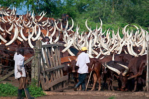 Ankole cattle, cultural icon for the traditionally nomadic Bahima people of Uganda, outside Lake Mburu National Park, Uganda, East Africa. After years of disputes between neighbouring communities and... - Cheryl-Samantha Owen