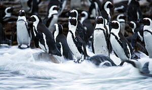 Black footed penguin (Spheniscus demersus) colony in sea surf at Stony Point, Betty's Bay, South Africa.  -  Cheryl-Samantha Owen