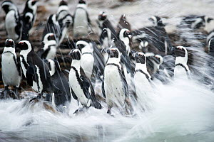 Black footed penguin (Spheniscus demersus) colony in sea surf at Stony Point, Betty's Bay, South Africa - Cheryl-Samantha Owen