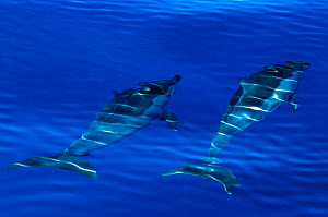 Spinner dolphins (Stenella longirostris) swimming just below surface, Aldabra Atoll, Seychelles, Indian Ocean  -  Cheryl-Samantha Owen