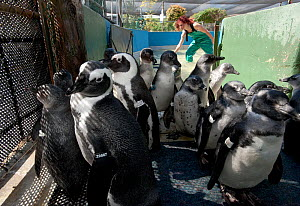 Black footed penguins (Spheniscus demersus) in a pen, part of rehabilitation at Southern African Foundation for the Conservation of Coastal Birds (SANCCOB), Cape Town, South Africa 2011 - Cheryl-Samantha Owen