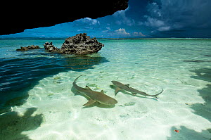 Blacktip reef sharks (Carcharhinus melanopterus) swimming in shallow crystal clear water, Aldabra Atoll, Seychelles, Indian Ocean  -  Cheryl-Samantha Owen
