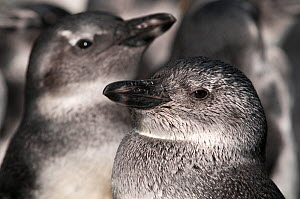 Black footed penguin (Spheniscus demersus) penguins at this juvenile stage known as 'blue' before adult plumage grows, rehabilitation at Southern African Foundation for the Conservation of Coastal Bir... - Cheryl-Samantha Owen
