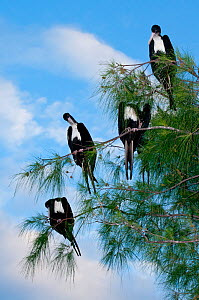 Great frigate birds (Fregata minor) sitting in tree, Aldabra Atoll, Seychelles, Indian Ocean  -  Cheryl-Samantha Owen
