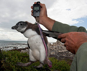 Black footed penguin (Spheniscus demersus) chicks in poor condition are rescued from the colony and sent for hand rearing and rehabilitation at the Southern African Foundation for the Conservation of... - Cheryl-Samantha Owen