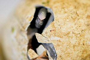 Black footed penguin (Spheniscus demsersus) chick hatching inside a small incubator at the Southern African Foundation for the Conservation of Coastal Birds (SANCCOB) which collects abandoned eggs fro... - Cheryl-Samantha Owen