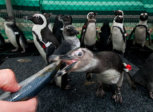 Black footed penguin (Spheniscus demersus) being hand fed as part of eehabilitation at Southern African Foundation for the Conservation of Coastal Birds (SANCCOB) Cape Town, South Africa - Cheryl-Samantha Owen