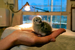Hartlaub's Gull (Chroicocephalus hartlaubii) chick being cared for by Southern African Foundation for the Conservation of Coastal Birds (SANCCOB), Cape Town, South Africa - Cheryl-Samantha Owen