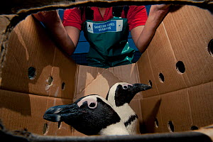 Black footed penguins (Spheniscus demersus) in box ready to be released in sea near Robben Island in Table Bay after rehabilitation at Southern African Foundation for the Conservation of Coastal Birds... - Cheryl-Samantha Owen